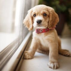 Cocker Spaniel Puppy, totally looks like my dog when she was a puppy.