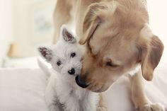 Yellow Labrador Retriever and West Highland Terrier ❤️ Love My Dog, Puppy Love, West Highland Terrier, Cute Puppies, Dogs And Puppies, Doggies, Westie Puppies, Adorable Dogs, Baby Animals