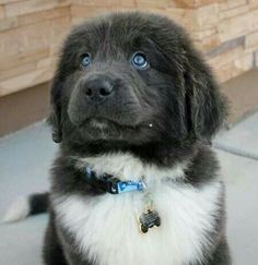 Oh, oh! I want it! Someone get this for me, please! - Newfoundland Puppy Dog Dogs Puppies Newfie Newf