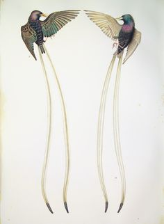 ~ Justin Gibbens - Ribbon-tailed Starlings - 2008, Watercolor, gouache, pencil, green tea on paper