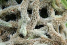 Humata tyermannii (White Rabbit's Foot Fern)