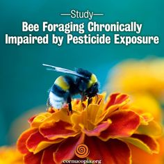 A study co-authored by a University of Guelph scientist that involved fitting bumblebees with tiny radio frequency tags shows long-term exposure to a neonicotinoid pesticide hampers bees' ability to forage for pollen. More here: http://www.cornucopia.org/2014/07/bee-foraging-chronically-impaired-pesticide-exposure-study #savethebees #saveourpollinators #bees #neonics