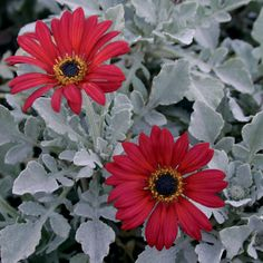 The Ravers® Cherry Frost™ African Daisy - foliage looks like dusty miller with red daisy flowers. Annual