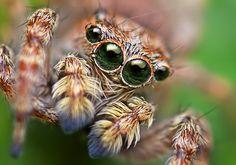 Sitticus fasciger Jumping Spider | Thomas Shahan