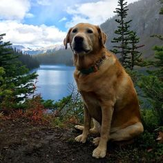 Hunting dog breeds: Labrador Retreiver