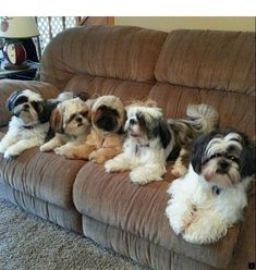 """Check out our site for more info on """"shih tzu puppies"""". It is an excellent spot for more information. Cute Puppies, Cute Dogs, Dogs And Puppies, Doggies, Baby Animals, Funny Animals, Cute Animals, Beautiful Dogs, Animals Beautiful"""