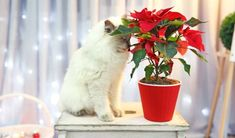 Vydrží vám aj do ďalších Vianoc. Euphorbia Pulcherrima, Er 5, Planter Pots, Bude, Garden, Flowers, Tulips, Garten, Lawn And Garden