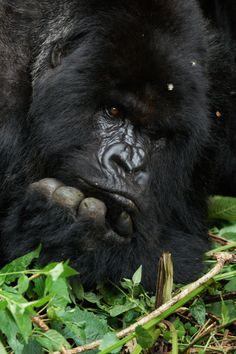 Mountain gorilla, Rwanda by Thierry Riols
