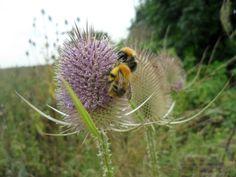 Pauline's Flowers - Bees on Teasels - 19.9.2013
