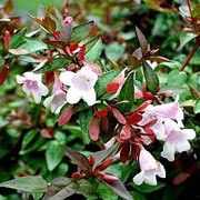 Abelia x grandiflora 'Edward Goucher' (Abelia 'Edward Goucher')  Click image to learn more, add to your lists and get care advice reminders each month.