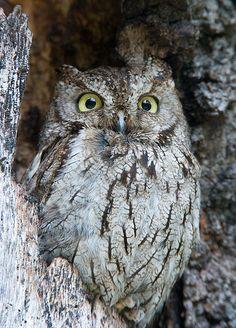Grey-Phased Western Screech Owl