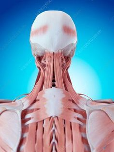 Human neck and back anatomy - Stock Image - - Science Photo Library Muscular System, Muscle Anatomy, Muscle Body, Anatomy And Physiology, Neck Pain, Human Anatomy, Massage Therapy, Physical Therapy, Physical Fitness