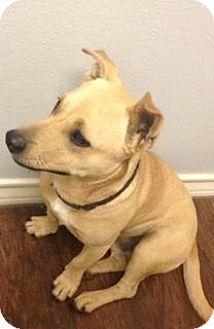 Bullard, TX - Corgi Mix. Meet Chester, a dog for adoption. http://www.adoptapet.com/pet/13560913-bullard-texas-corgi-mix