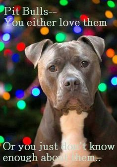 To know this breed is to love them. Once you have a pitty you won't want any other  breed...