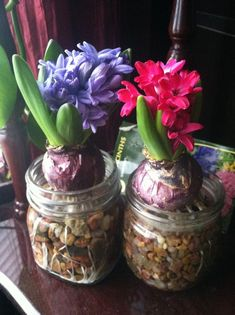 Forcing hyacinth bulbs indoors is easy! Add small gravel to a mason jar, fill with water and place bulb on top. Maintain water level just at bottom of bulb. I have fragrant flowers in February! Garden Bulbs, Planting Bulbs, Garden Plants, Planting Flowers, Indoor Flowers, Bulb Flowers, Indoor Plants, Flower Pots, Mason Jar Garden