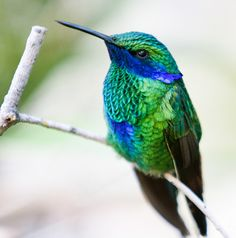birds of a feather — sparkling violetear (photo by san diego shooter) All Birds, Little Birds, Love Birds, Pretty Birds, Beautiful Birds, Animals Beautiful, Cute Animals, Exotic Birds, Colorful Birds