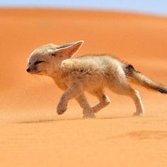 Fennec fox braving the wind.