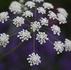 Ammi majus bishop's weed A billowing, non-invasive cow parsley