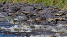 Gatorpalooza: Hundreds of Alligators Photographed Congregating at Watering Hole