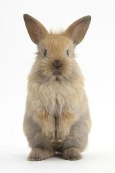 size: Photographic Print: Baby Lionhead Cross Lop Rabbit, Standing by Mark Taylor : Entertainment White Bunnies, Cute Baby Bunnies, Cute Baby Animals, Cute Babies, Giant Rabbit, Rabbit Baby, Cute Puppies, Dogs And Puppies, Lionhead Rabbit