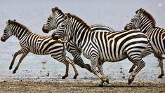 Exploring Africa: A Tanzanian Camping Safari Adventure Safari Animals, Baby Animals, Síndrome De Ehlers Danlos, Sneaky Animals, Zebra Pictures, Safari Adventure, Adventure Travel, Baboon, Animal Facts
