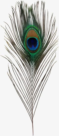 Clip Art Bird Asiatic Peafowl Feather - Krishna Peacock Feather Png { - Free Cliparts on ClipartWiki Feather Drawing, Feather Art, Peacock Feathers, Feather Texture, Peacock Pictures, Flower Phone Wallpaper, Feather Wallpaper, Peacock Painting, Painting Lessons