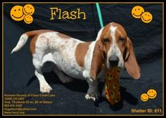 Flash-HSCCL is an adoptable Basset Hound Dog in Plano, TX.   This dog is available to rescue, foster or adopt. If you are interested in this animal, please begin by filling out our online application ...