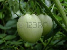 tomate verde adepto en su planta Foto de archivo - 16085997