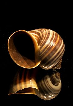 Seashell - turbo marmoratus by Stephen Mulligan, via Flickr