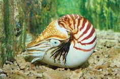 Photo about Chambered Nautilus (pompilius) underwater in a aquarium. Image of curled, seashell, shell - 8613141 Animal Science, Nautilus, Tentacle, Tropical Fish, Sea Creatures, Inktober, Sea Shells, Underwater, Sunnies