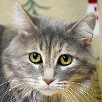 Pet Card Siberian Cats For Sale Cat Adoption Pet Adoption