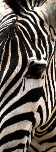 Zebra close up, beautiful