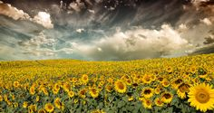 Provence sunflowers  by Marco Carmassi, via 500px