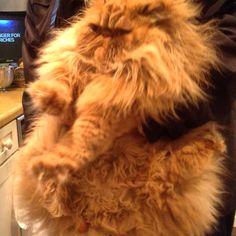 Patachon the Persian kitty