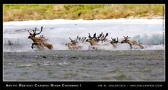 Arctic Refuge: Caribou River Crossing I  via Jim M. Goldstein   http://www.jmg-galleries.com