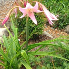 Crinum lily in bloom