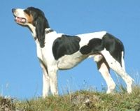 berner laufhund photo | SABUESO DE BERNA - BERNER HOUND - COURANT BERNOIS - BERNER LAUFHUND ...