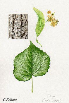 Little leaf linden.  Ahh. Takes me back to college days.