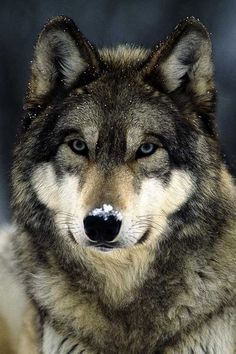 Wolves are beautiful creatures. There is nothing evil about them. I pinned this one only because he is beautiful!