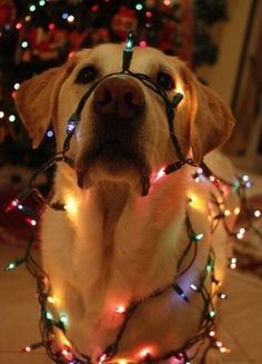 Labrador with Christmas lights Animals And Pets, Baby Animals, Funny Animals, Cute Animals, Funny Pets, Cute Puppies, Cute Dogs, Dogs And Puppies, Doggies