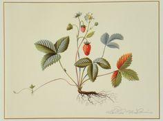 """Künstler Niklaus Stoecklin  Titel aus """"Schönheiten der Natur""""  Technik Farb-Lithografie Wild Strawberries, Antique Prints, Rooster, Strawberry, Antiques, Animals, Ebay, Nature, Animales"""