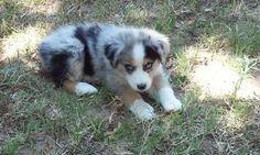 Miniature Australian Shepherd pups