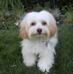 I fostered Lana in 2013  Meet LANA, a Petfinder adoptable Maltese Dog   Newport Beach, CA   ~ADOPTION PENDING~ You may meet and apply to adopt Lana at our ADOPTION EVENT on SUNDAY, NOVEMBER...