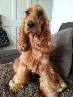 22 Cute Golden Cocker Spaniel Pictures You Will Love | Page 4 of 5 | The Paws