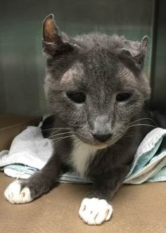 VALENTINO - A1056988 - - Brooklyn  *** TO BE DESTROYED 11/20/15 *** DEBONAIR VALENTINO NEEDS YOU TONIGHT!! VALENTINO is a NEUTERED, 8 year old with a BEGINNER rating and some possible senior health issues. VALENTINO's former owner adopted him from the ASPCA but didn't return him there and in fact, had no time to fill out an owner surrender statement because she was in a borrowed car…..A volunteer writes:  Hi! I'm Valentino. I'm not a movie star
