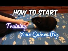 Try to make sure that your beautiful guinea pigs have the best things in life. A big guinea pig cage, or run, not only helps make them more fun to view, but makes sure they get the workout that they need in order to stay fit and healthy. Pet Guinea Pigs, Guinea Pig Care, Guinie Pig, Baby Animals, Cute Animals, Animals Beautiful, Bunny Cages, Rabbit Cages, Teacup Pigs