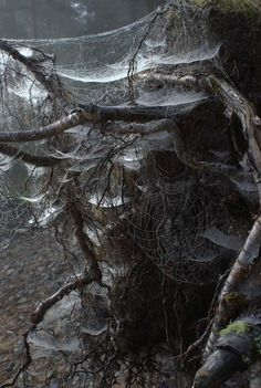 Tree shrouded in spiderwebs