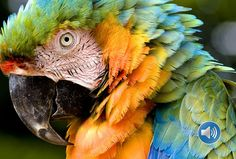 Macaws are the largest members of the parrot family, and are found only in South and Central America. There are nineteen species, but unfortunately most are critically endangered. Roulette Game, Online Roulette, Guided Practice, Durham Region, Central America, Animals, Animales, Animaux, Animal
