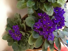 Grandmas favorite flowers. African violets... I miss you too much right now!!!