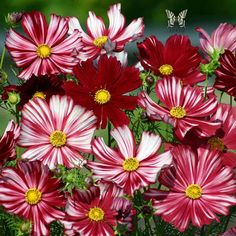 Cosmos Flowers add vivid color to your annual flower garden. Get growing tips for cosmos seeds from gardening enthusiasts at Burpee Seeds.